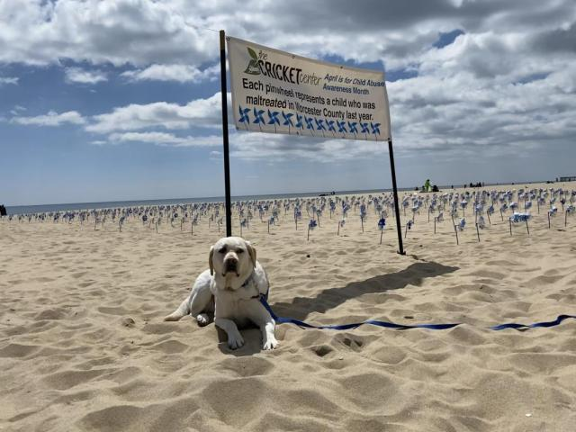 Josiah, a trained full assistance dog and member of the CRICKET Center's multidisciplinary team, relaxes on the Ocean City Beach beside a field of blue pinwheels, which represent children who were maltreated in Worcester County last year.